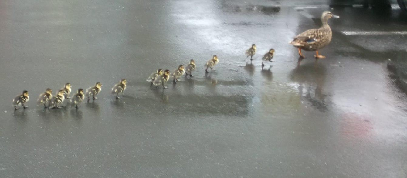Ducks leaving